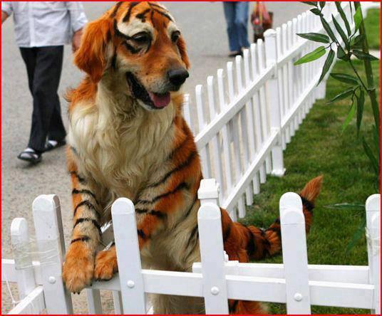 สุนัข หรือว่า สิงโต